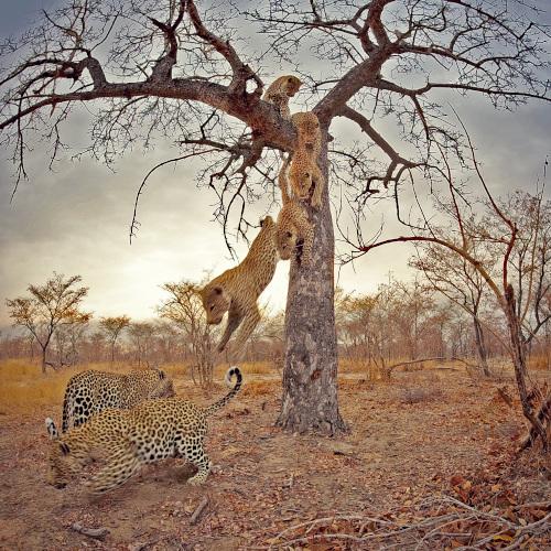VR education leopard in tree